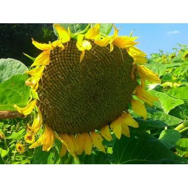 Семена подсолнечника НС Сумо Стандарт
