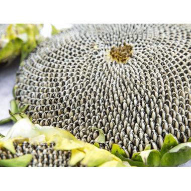 Семена подсолнечника НС Адмирал (НС Х 195)