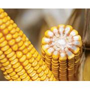 Семена кукурузы Адевей (Adevey) ФАО 290