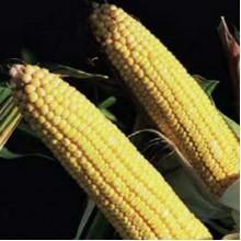 Семена кукурузы на посев