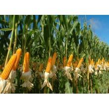 Семена кукурузы ДМС Лорд (ФАО 190)