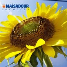 Семена подсолнечника МАС 89.М / MAS 89.M