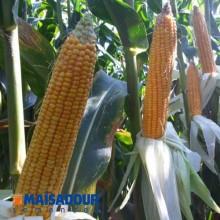 Семена кукурузы МАС 36.А / MAS 36.A