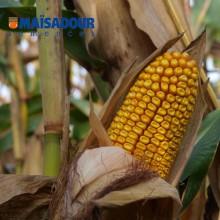 Семена кукурузы МАС 40.Ф / MAS 40.F