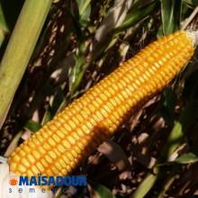 Семена кукурузы МАС 44.А / MAS 44.A