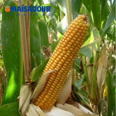 Семена кукурузы ДМ 3315 / DM 3315
