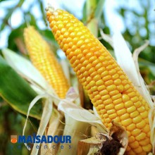 Семена кукурузы МАС 12.Р / MAS 12.R
