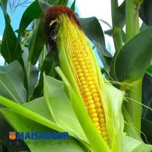 Семена кукурузы МАС 28.А / MAS 28.A