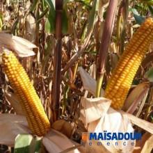 Cемена кукурузы МАС 18.Л / MAS 18.L
