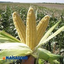 Купить семена кукурузы. Семена кукурузы на посев