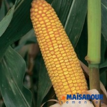 Семена кукурузы МАС 24.С / MAS 24.C