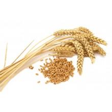 """Семена озимой пшеницы """"Берегиня Мироновская"""""""
