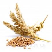 Семена озимого ячменя Девятый Вал (9-й)