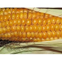Семена кукурузы ДС0306