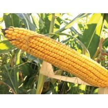 Семена кукурузы ДС1071С