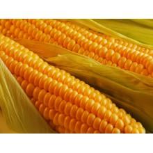 Семена кукурузы ДС1157А