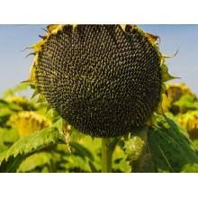 Семена подсолнечника Блейзер