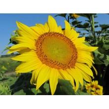 Семена подсолнечника Талон