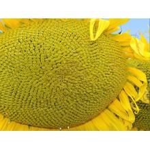 Семена подсолнечника X4334