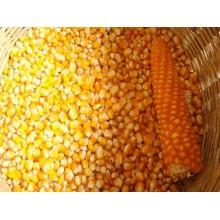 Семена кукурузы P9718Е