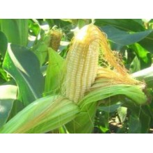 Семена кукурузы P8529