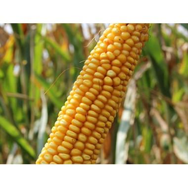Семена кукурузы Стаккато