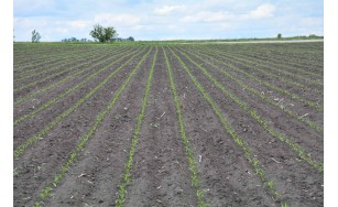 Стан демо-поля. 24 дні після посіву гібридів кукурудзи