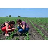 Стан демо-поля кукурудзи. 6 тижнів після посіву