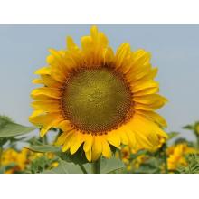 Семена подсолнечника НС Таурус Стандарт