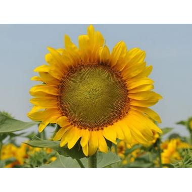 Семена подсолнечника НС Таурус Экстра