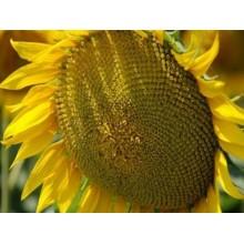 Семена подсолнечника ЗЛАТИБОР Стандарт
