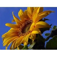 Семена подсолнечника Соларни
