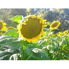 Семена подсолнечника Рими Стандарт