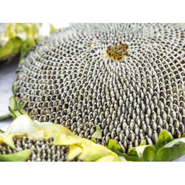 Семена подсолнечника НС Адмирал (НС Х 195) Стандарт