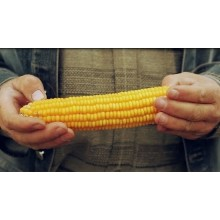 Семена кукурузы Трилоджи КС (ФАО 370)