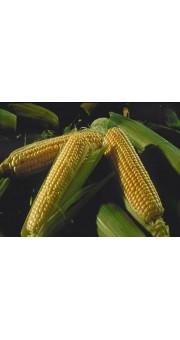 Семена кукурузы КС Катари