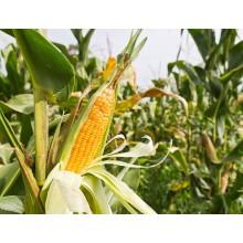 Семена кукурузы Джекпот МС (ФАО 180)