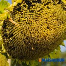 Семена подсолнечника МАС 97.А / MAS 97.A