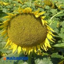 Семена подсолнечника МАС 96.П / MAS 96.P