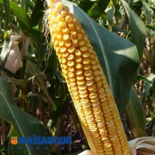 Семена кукурузы МАС 33.А / MAS 33.A