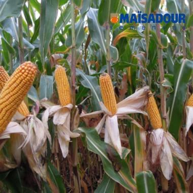 Семена кукурузы МАС 35.К / MAS 35.K