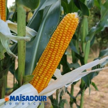 Семена кукурузы МАС 37.В / MAS 37.V