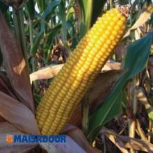 Семена кукурузы МАС 39.Т / MAS 39.T