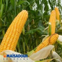 Семена кукурузы МАС 30.К / MAS 30.K