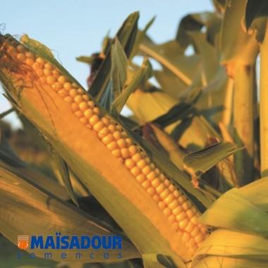 Семена кукурузы МАС 14.Г / MAS 14.G