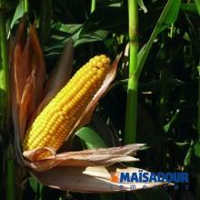 Семена кукурузы МАС 20.Ф / MAS 20.F