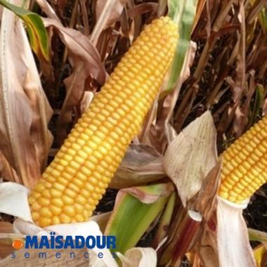 Семена кукурузы МАС 23.К / MAS 23.K