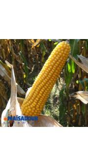 Семена кукурузы МАС 25.Ф / MAS 25.F