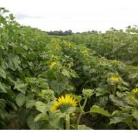 Семена подсолнечника Меркурий OR Экстра