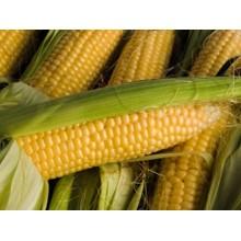 Семена кукурузы Кампони КС